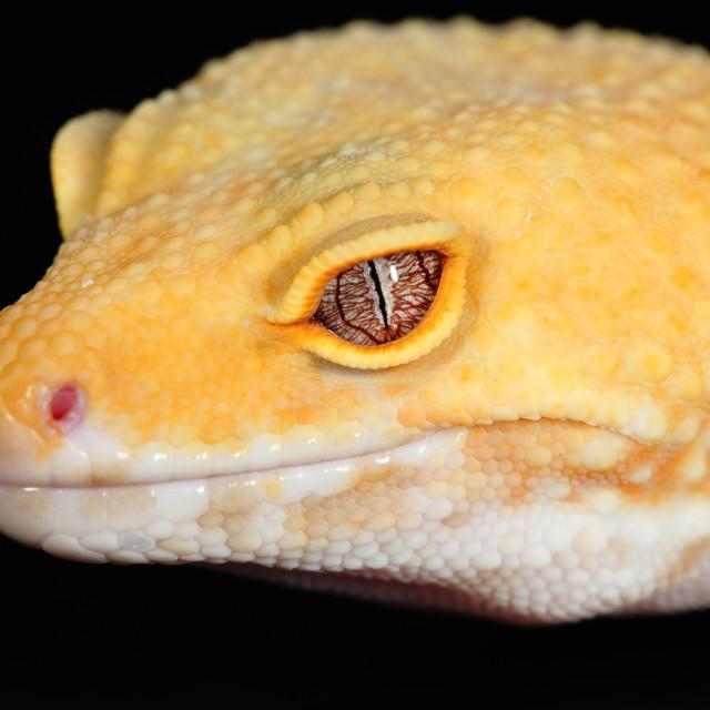"""""""eublepharis macularius"""" stock image"""