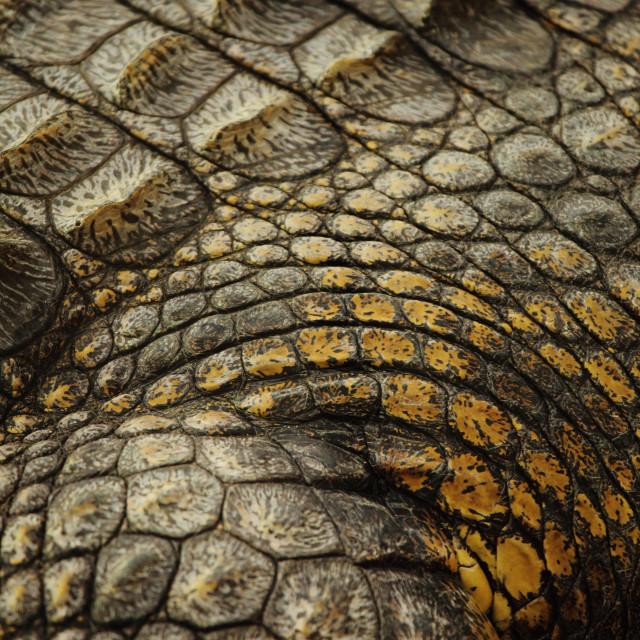 """""""skin aligator"""" stock image"""