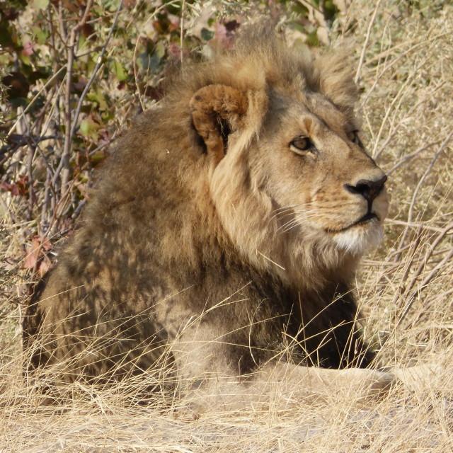 """King of the Jungle II"" stock image"
