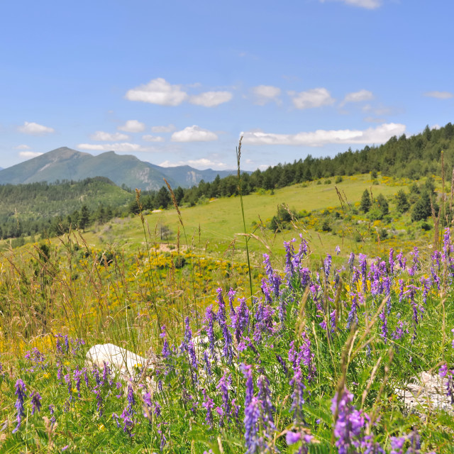 """wild flowers in mountains"" stock image"