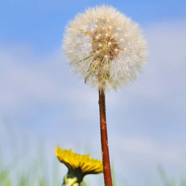 """dandelions"" stock image"
