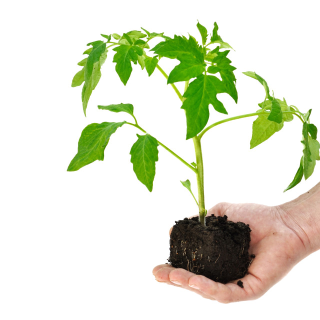 """tomato plant in a hand"" stock image"