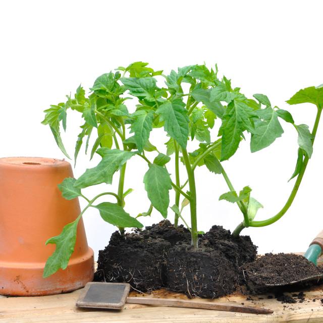 """""""tomato plants"""" stock image"""