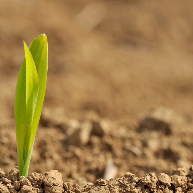 """young sprout of corn"" stock image"