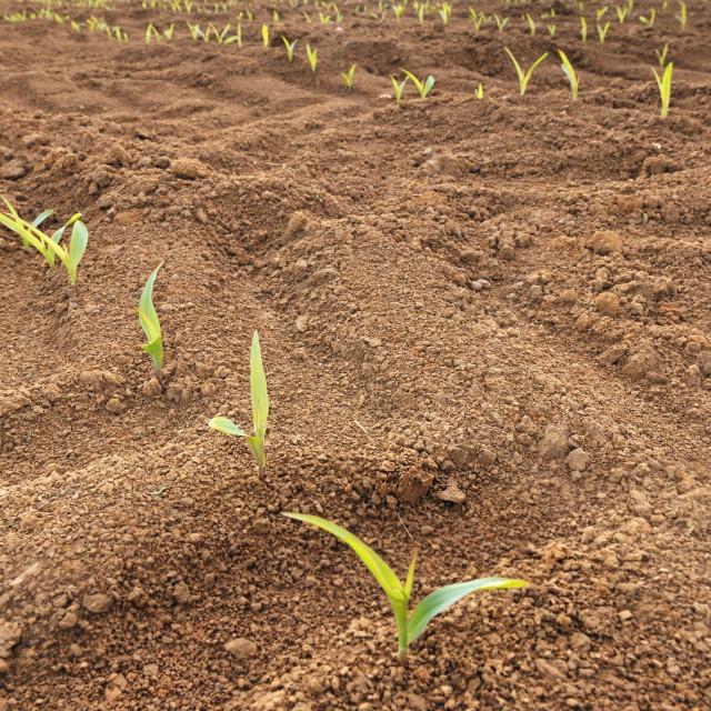 """""""row of seedlings of corn"""" stock image"""