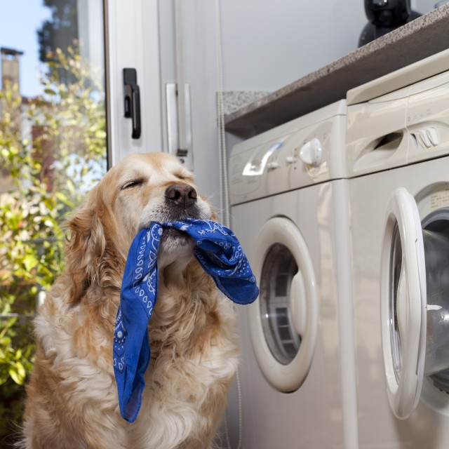 """Golden retriever doing laundry"" stock image"