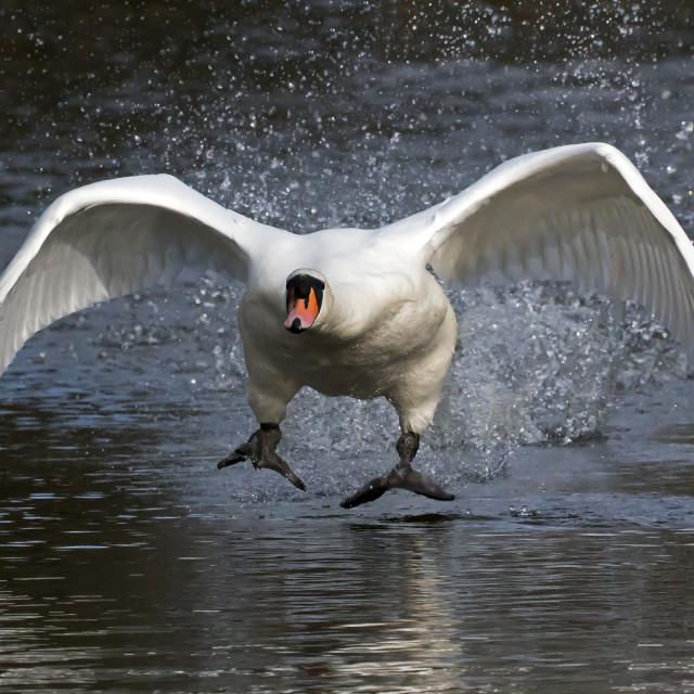"""Swan Attack."" stock image"