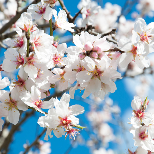 """Almond blossom closeup"" stock image"