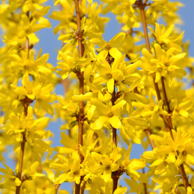 """""""blossoming of forsythia"""" stock image"""