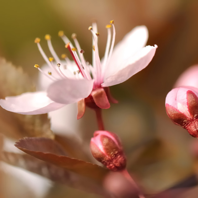 """pretty flowers of Prunus"" stock image"
