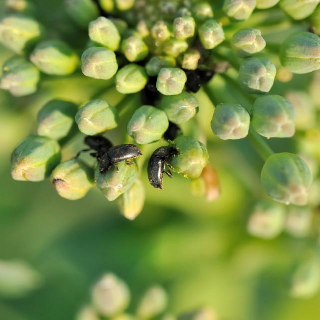 """beetles on canola buds"" stock image"