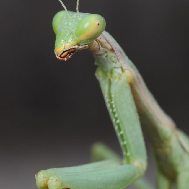 """""""mantis"""" stock image"""