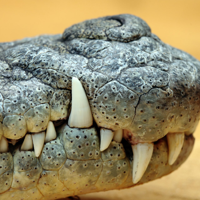 """crocodile teeth"" stock image"