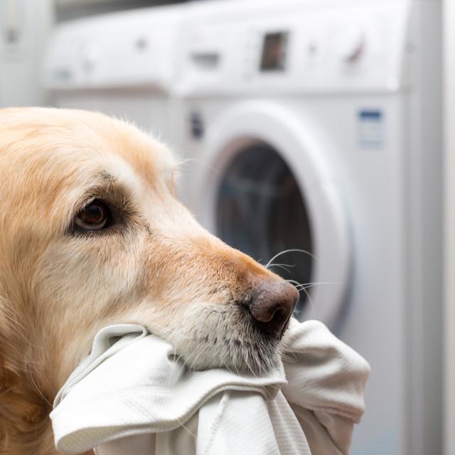 """""""Golden Retriever doing laundry"""" stock image"""
