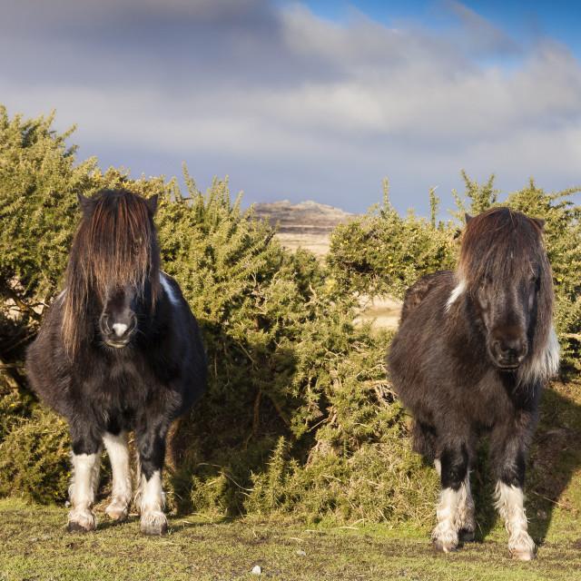 """""""Dartmoor Ponies"""" stock image"""