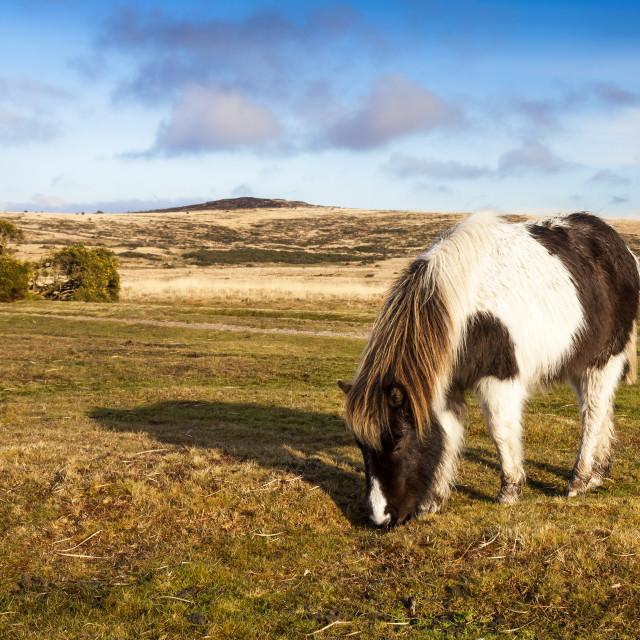 """Dartmoor Pony"" stock image"