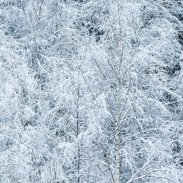 """Winter landscape with snow covered trees"" stock image"
