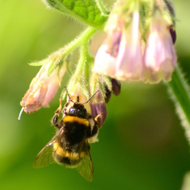 """bees love comfrey"" stock image"