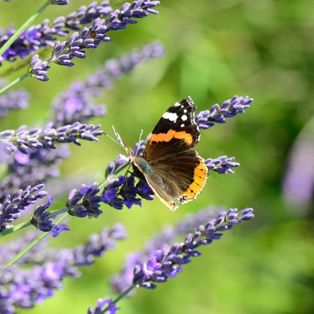 """Butterfly and lavender"" stock image"