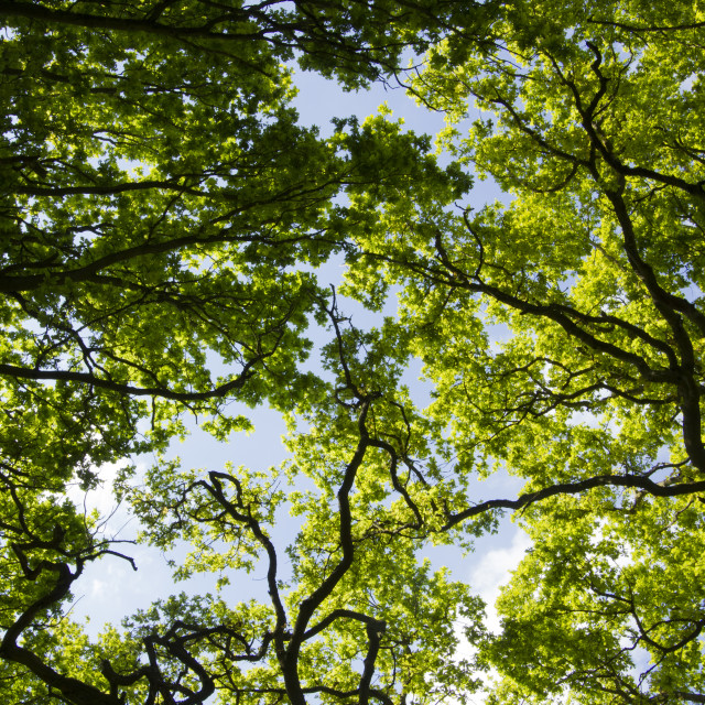 """""""Looking up to the spring canopy"""" stock image"""