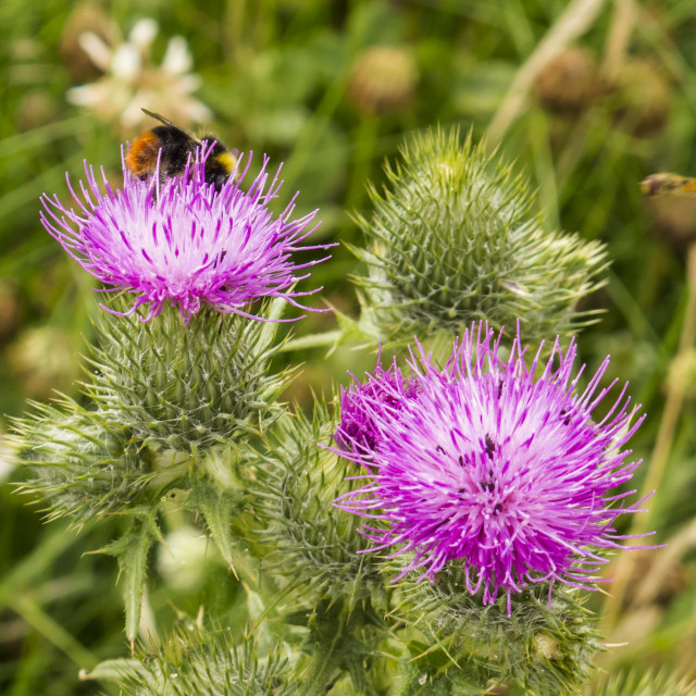 """""""Busy on the knapweed"""" stock image"""