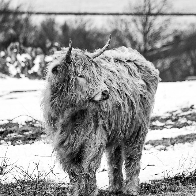 """The Highland Cow Black And White"" stock image"