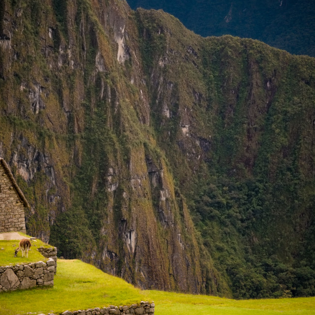 """Alpacas grazing on the grasses of Machu Picchu in Peru"" stock image"
