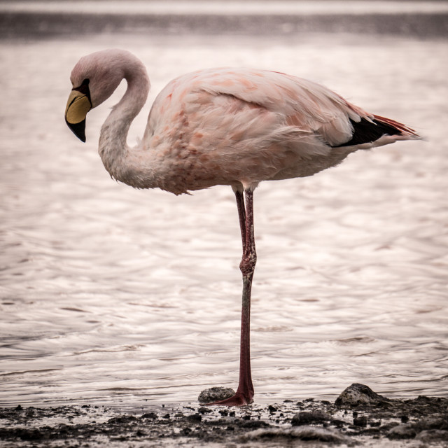 """""""Flamingo stands alone at the edge of a lake"""" stock image"""