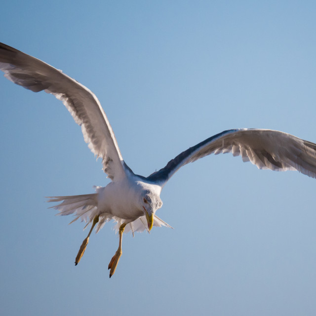 """Seagull flying alone agains the blue sky"" stock image"