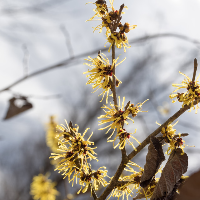 """Witch hazel"" stock image"
