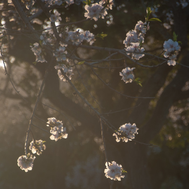 """""""Almond blossom in backlight"""" stock image"""