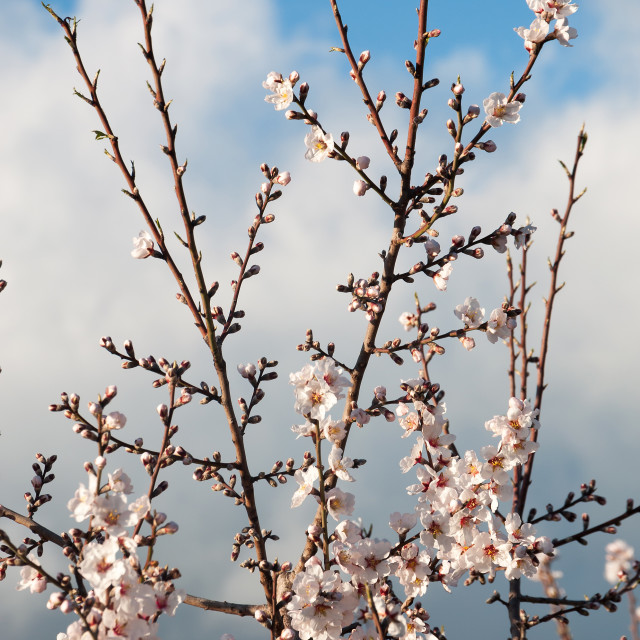 """""""Almond flowers and cloudy sky"""" stock image"""