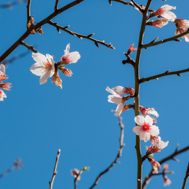 """""""Almond blossom on bare branches and blue sky"""" stock image"""