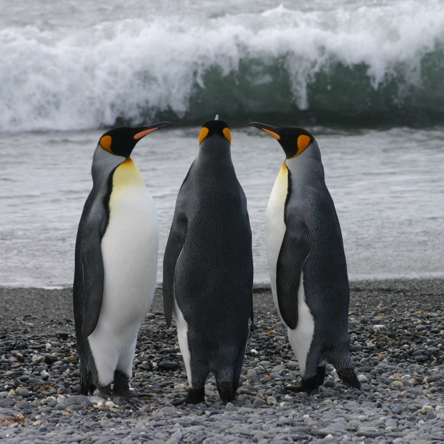 """King penguin group in Antarctic"" stock image"