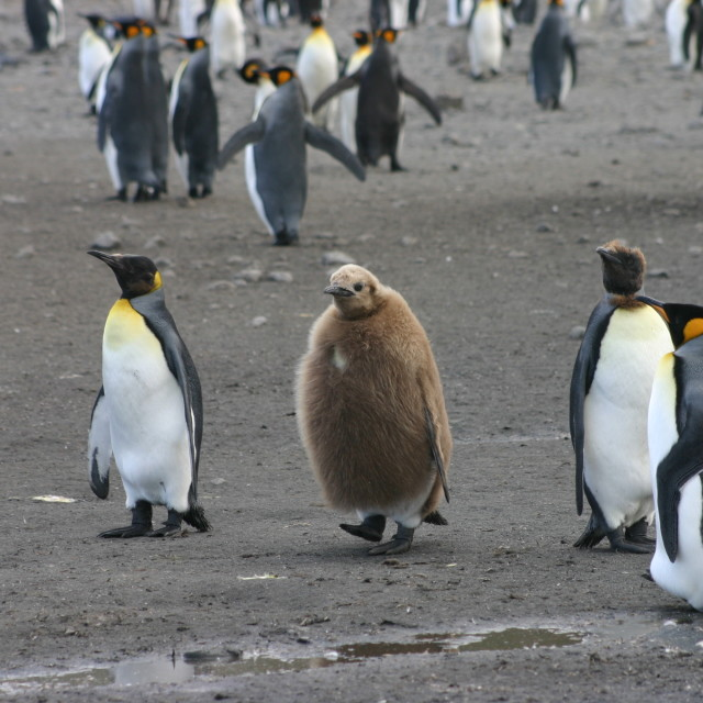 """young moulting king penguin"" stock image"