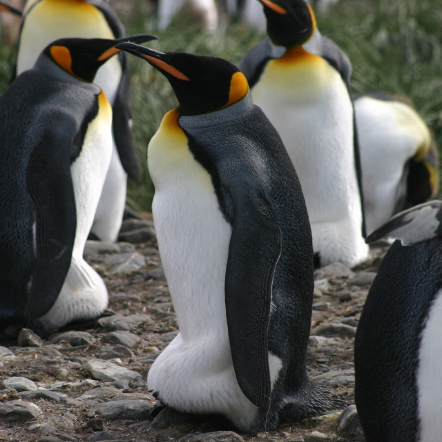 """Emperor penguin group"" stock image"