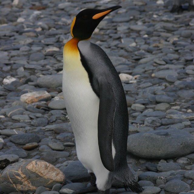 """King penguin"" stock image"