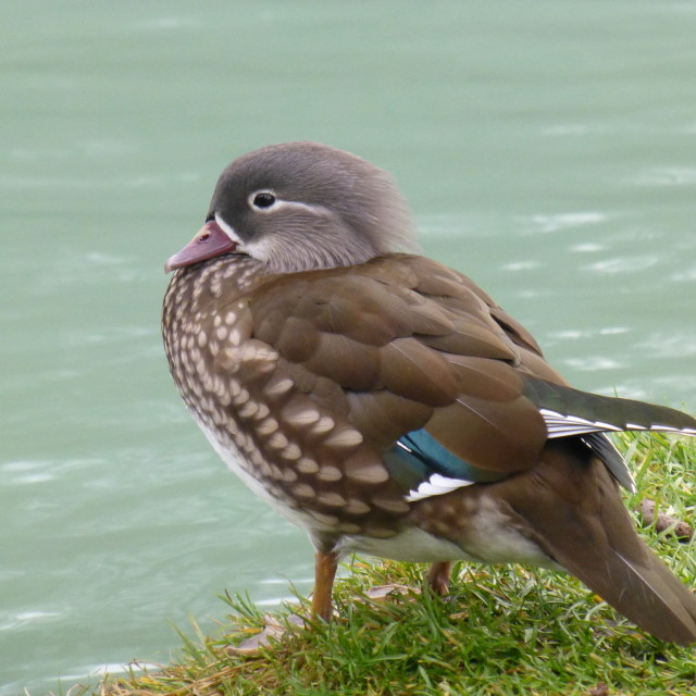 """Female Mandarin duck"" stock image"