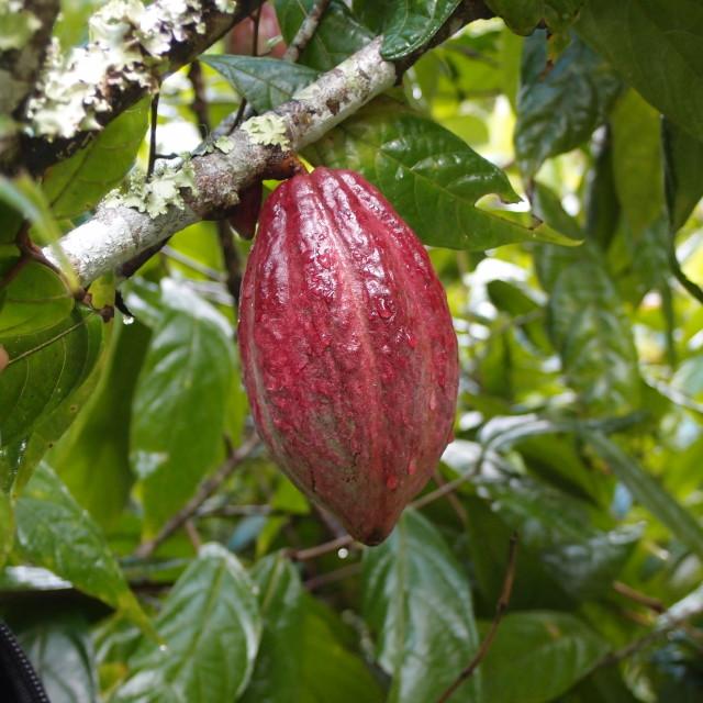 """Cacao pod"" stock image"