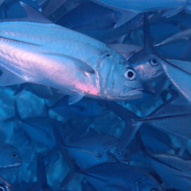 """""""Shoal of Jackfish"""" stock image"""