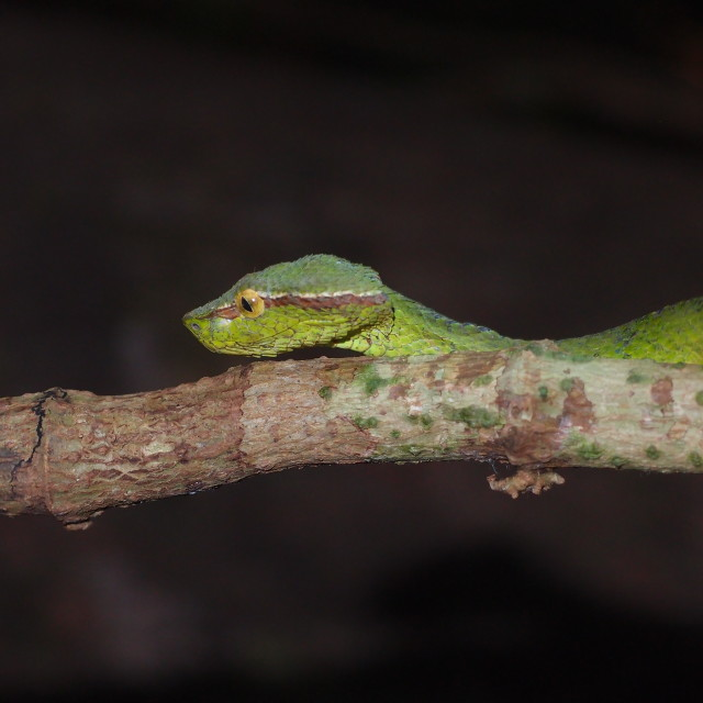 """""""A baby green pit viper"""" stock image"""
