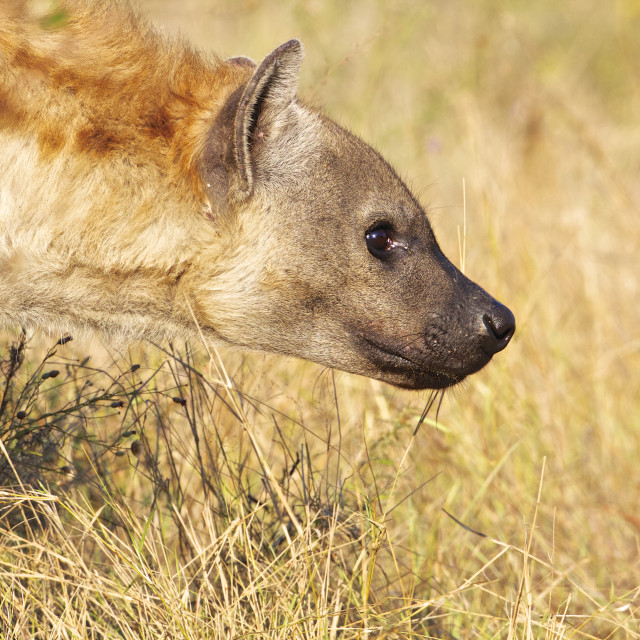 """""""Spotted Hyaena"""" stock image"""