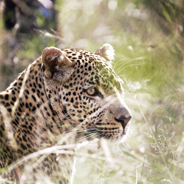 """Leopard in the Grass"" stock image"