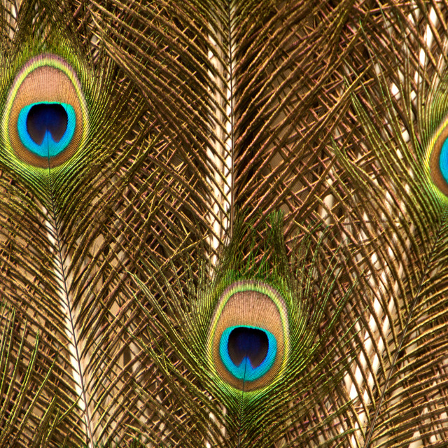 """Peacock Tail Feather in Gold"" stock image"