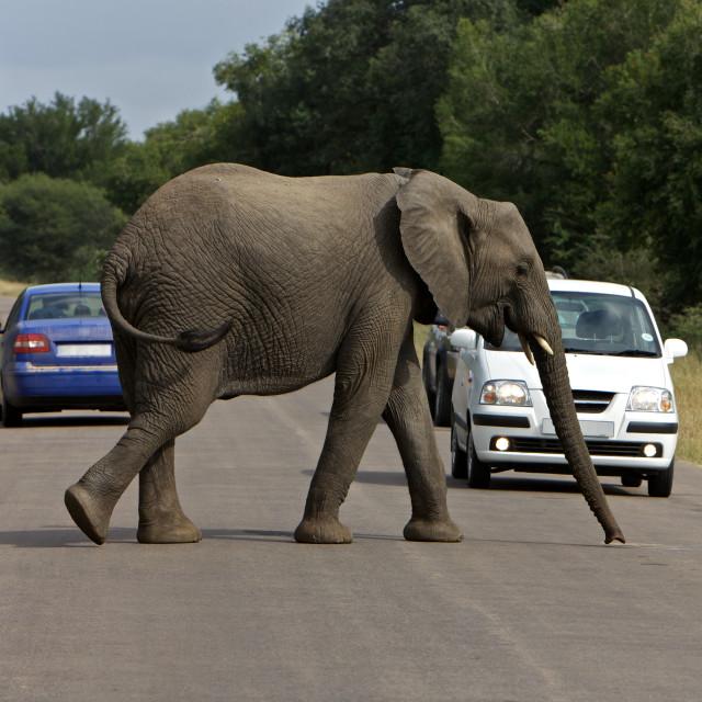 """""""Afircan Elephant"""" stock image"""