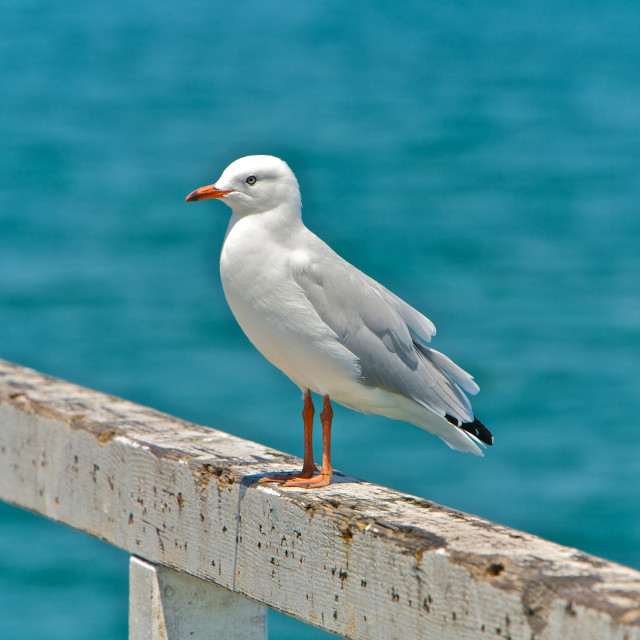 """Seagull Perched"" stock image"