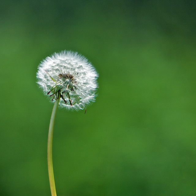 """Dandelion Head in a Field"" stock image"