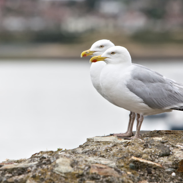 """Two Seagulls"" stock image"