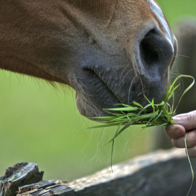 """Horse Eating"" stock image"