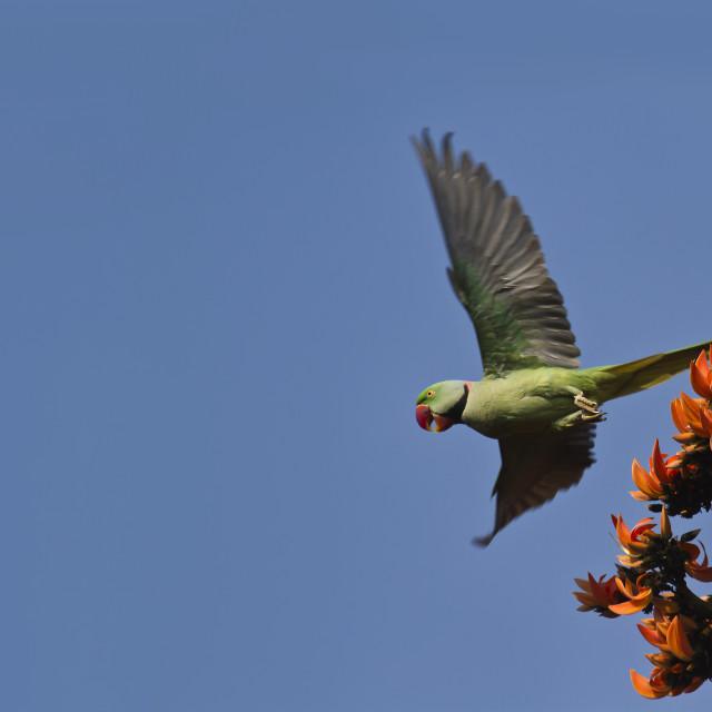 """Alexandrine parakeet in flight in Bardia, Nepal"" stock image"